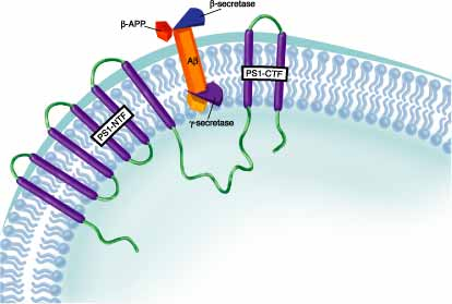 amyloid b peptide production alpha secretase Β-secretase (bace) cleavage of amyloid precursor protein (app) is one of the   activity or an elevation of α-secretase activity can reduce brain aβ production.